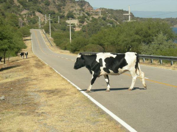 vaca...