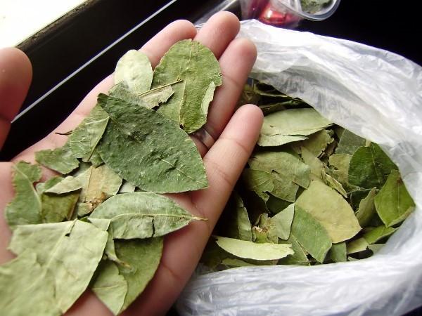 hojas de coca2