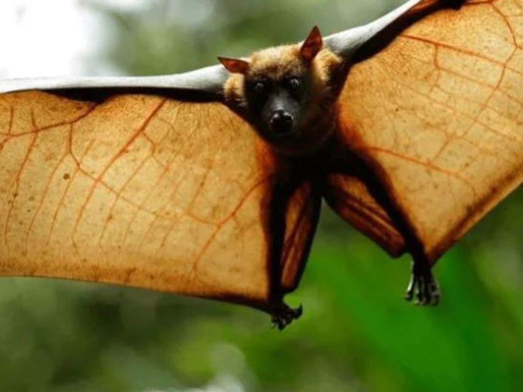 """El murciélago de """"tamaño humano"""" que asusta en las redes"""