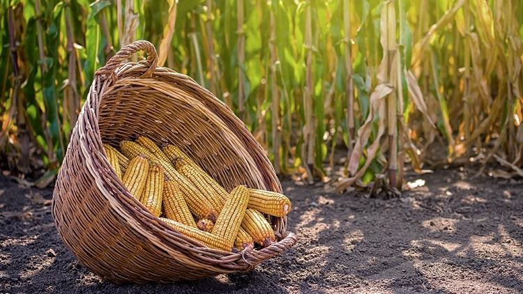 maiz cosecha